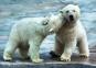 Пазл Белые медведи 500 эл 37270 0