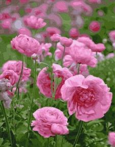 Картина по номерам Розовая нежность 40 х 50 см Brushne