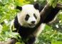 Пазл Большая панда 500 эл 37142